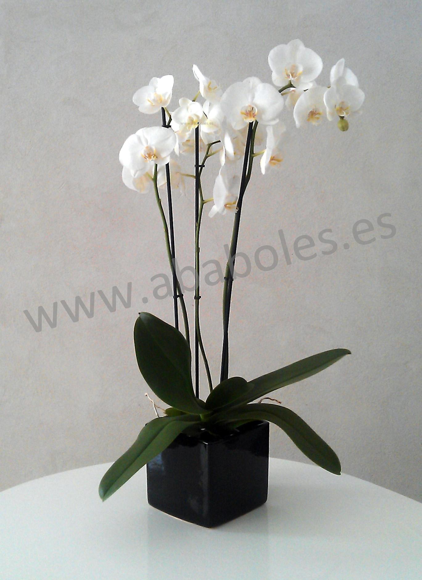 Cuidados de Phalaenopsis Ababoles