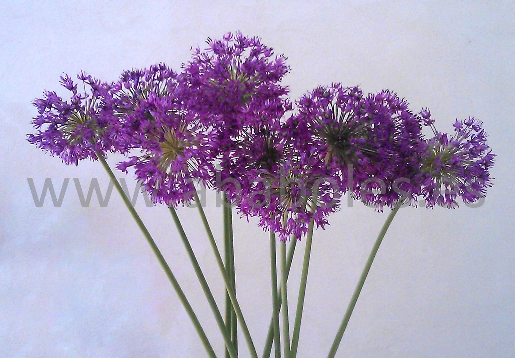 Bulbos de oto o iii allium ababoles - Bulbos de otono ...