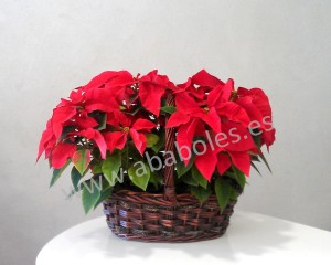 Cesta de Poinsettias.