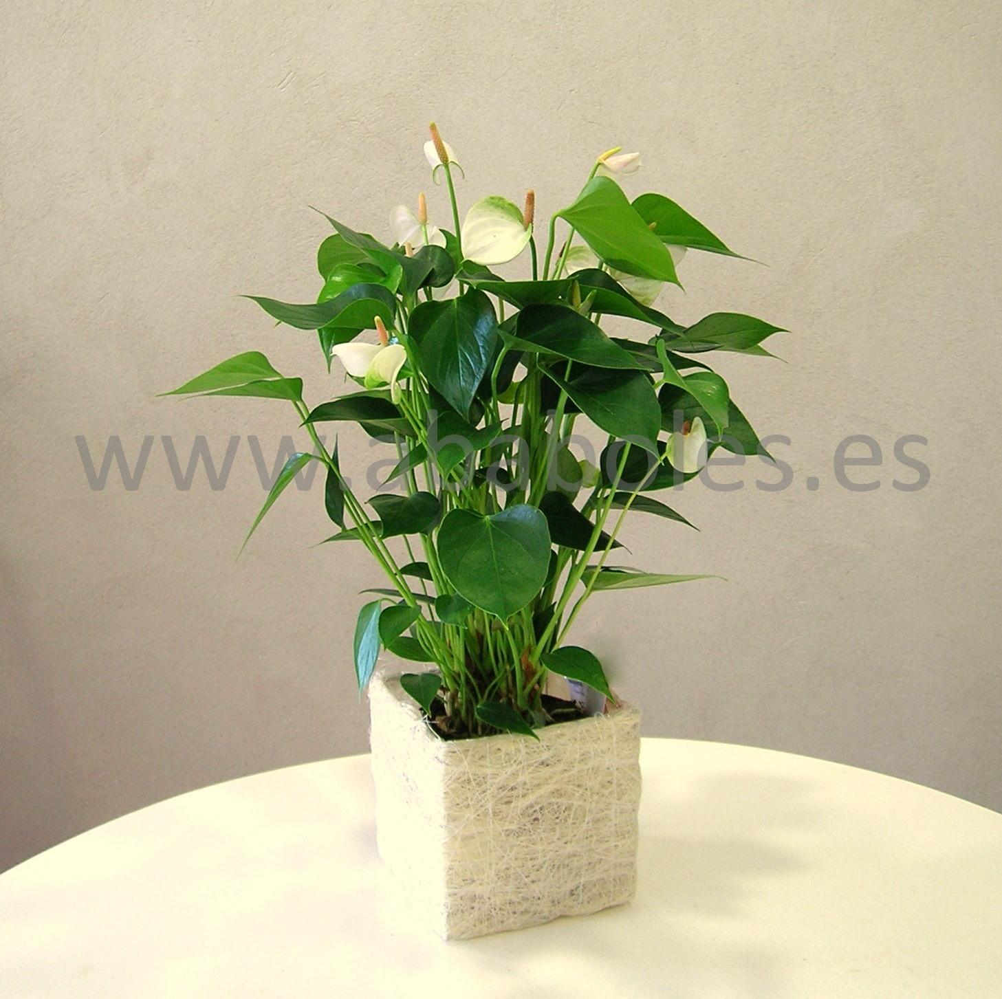 Planta de navidad cuidados great consejos para cultivar la planta de cactus de navidad with - Cuidados planta navidad ...