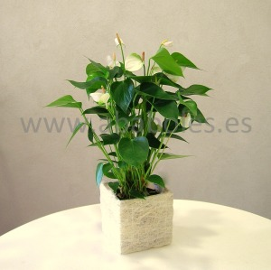 Planta de Anthurium Blanco