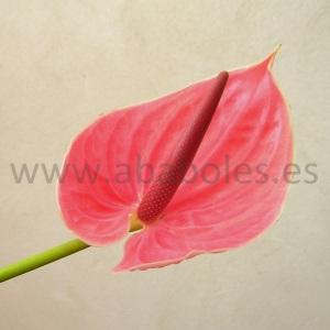 Flor de Anthurium Rosa