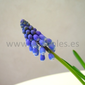 Detalle de flor de Muscari.