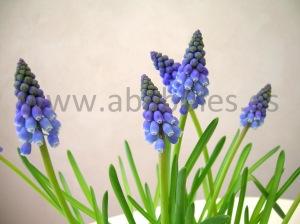 Flores de Muscari.